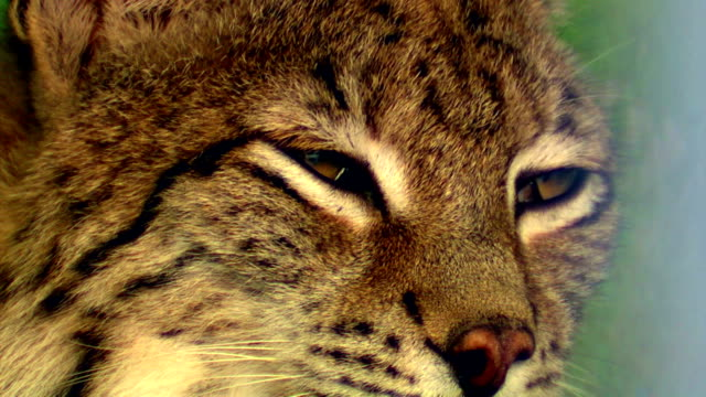 lynx - cat blinking stock videos & royalty-free footage