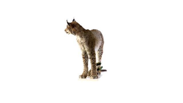 lynx - stuffed stock videos & royalty-free footage