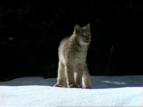 a lynx walks across snow-covered terrain. - western usa stock videos & royalty-free footage