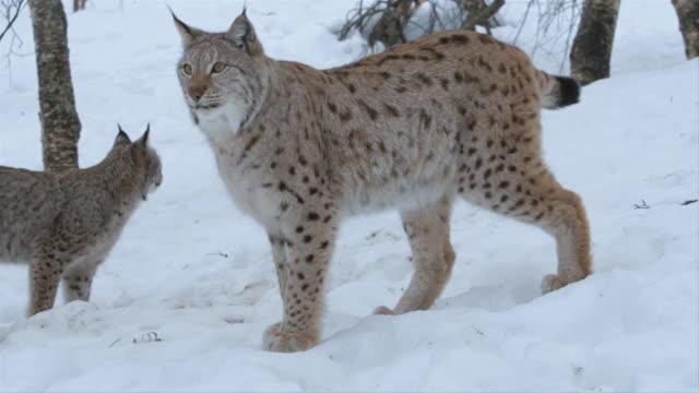 vidéos et rushes de lynx walks around in snowy boreal forest, norway - lynx