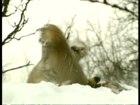MS 2 lynxes fighting over dead squirrel in snow, Arctic circle
