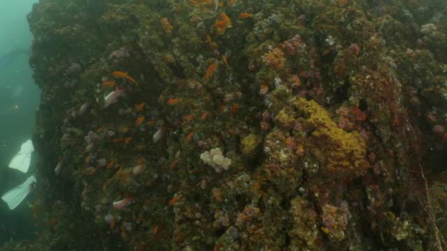 lyretail anthias fish schooling at undersea coral reef, taiwan - anthias fish stock videos & royalty-free footage