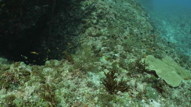 lyretail anthias fish schooling at undersea reef, taiwan - philippine sea stock videos & royalty-free footage