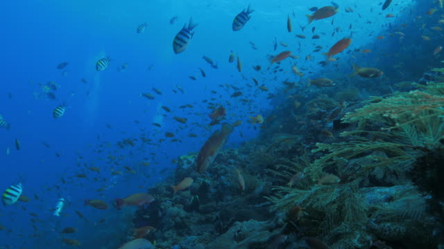 roter fahnenbarsch fische in korallen-riff, komodo (4k - riff stock-videos und b-roll-filmmaterial