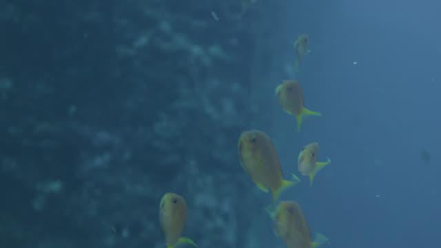 Lyretail anthias (Pseudanthias squamipinnis) shoal swims near rock face. Japan