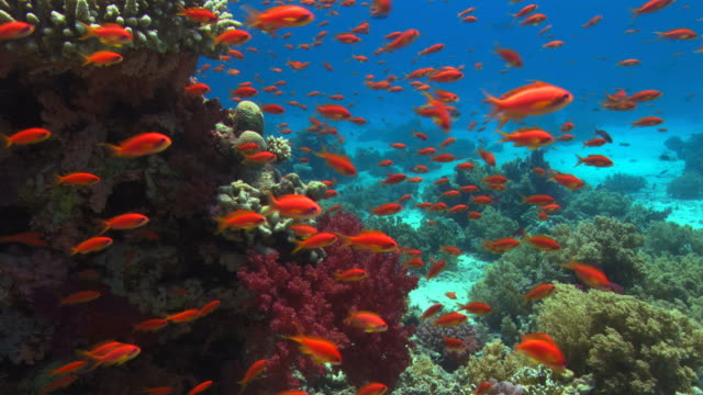 vídeos y material grabado en eventos de stock de lyretail anthias (pseudanthias squamipinnis) swimming out from the shelter of the reef to feed in the current. filmed off ras muhammad in the red sea - cnidario