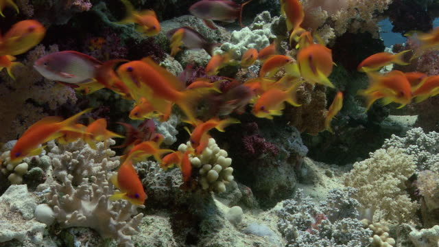 lyretail anthias (pseudanthias squamipinnis) swimming out from the shelter of the reef to feed in the current. filmed off ras muhammad in the red sea - zoology stock videos and b-roll footage