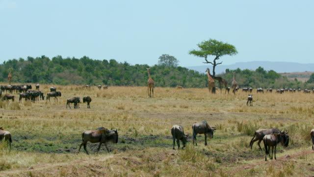 Maasai Giraffe & Blue Wildebeest Maasai Mara  Kenya  Africa