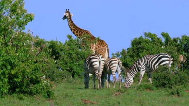 maasai giraffe & burchell's zebra grazing maasai mara, kenya, africa - zebra stock-videos und b-roll-filmmaterial
