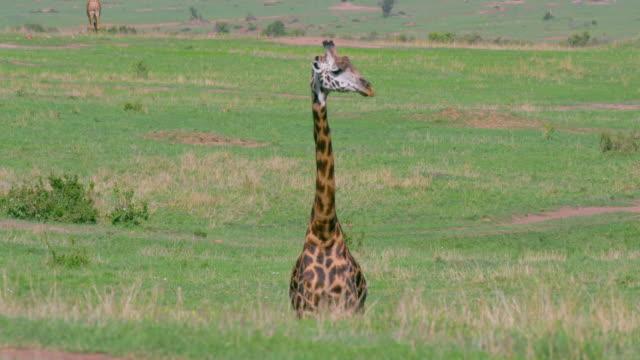maasai giraffe stood maasai mara, kenya, africa - safari animals stock videos & royalty-free footage