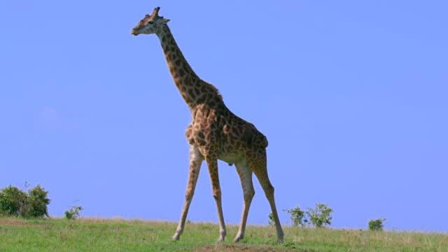 maasai giraffe walking maasai mara, kenya, africa - giraffe stock videos & royalty-free footage