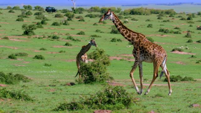 maasai giraffe walking maasai mara, kenya, africa - ケニア点の映像素材/bロール