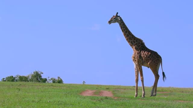 vídeos de stock, filmes e b-roll de maasai giraffe walking maasai mara, kenya, africa - girafa