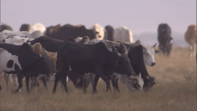maasai herd cattle on savanna. available in hd. - herding cattle stock videos & royalty-free footage