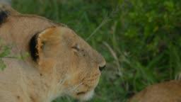 Maasai Lion at Maasai Mara National Reserve, Kenya, Africa