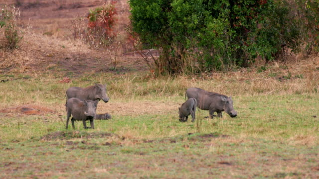 maasai mara 3rd september - piglet stock videos and b-roll footage