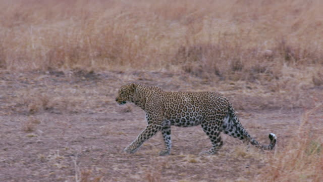 maasai mara 4 sept 16 pm - spotted stock videos and b-roll footage