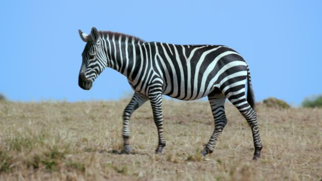 maasai mara 4th september 2016 - zebra stock-videos und b-roll-filmmaterial