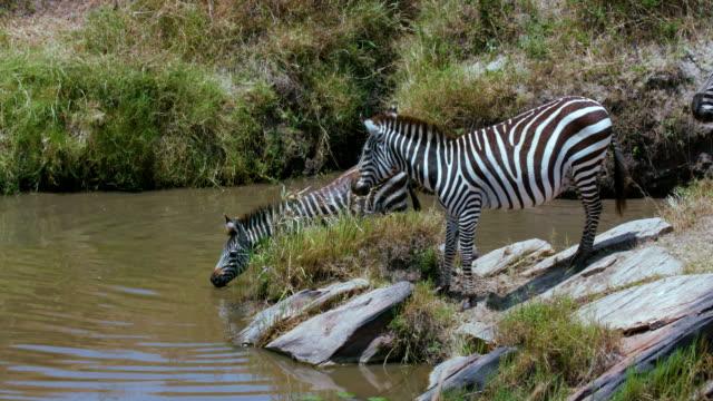 maasai mara 4th september 2016 - animal call stock videos & royalty-free footage