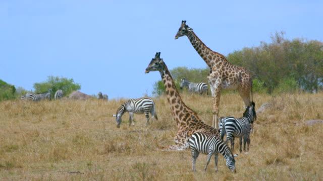 maasai mara 5 sept pm - giraffe stock videos & royalty-free footage
