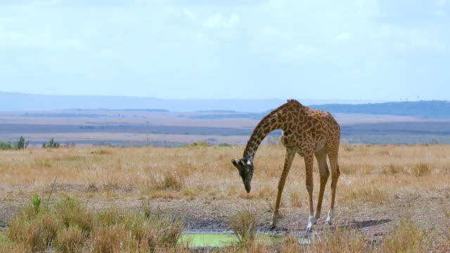 vídeos de stock, filmes e b-roll de maasai mara 5 sept pm - girafa
