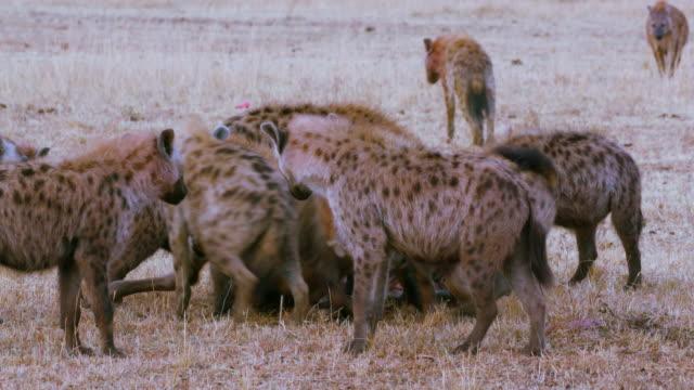 vídeos de stock e filmes b-roll de maasai mara 5th sept 16 - grupo de animais