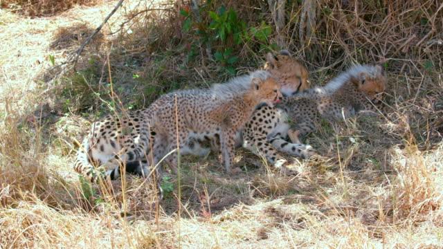 vídeos de stock e filmes b-roll de maasai mara 5th sept 16 - grupo pequeno de animais