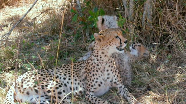 stockvideo's en b-roll-footage met maasai mara 5th sept 16 - kleine groep dieren