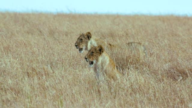 stockvideo's en b-roll-footage met maasai mara 6 sept am - vrouwtjesdier