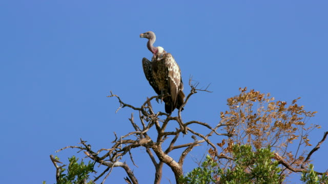 maasai mara 6 sept pm - vulture stock videos & royalty-free footage