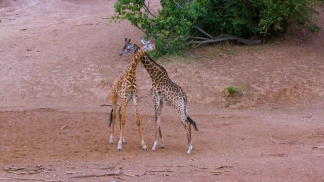 maasai mara 7 sept 16 pm - safari animals stock videos & royalty-free footage