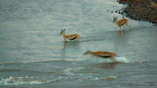 maasai mara 7 sept 16 pm - antilope stock-videos und b-roll-filmmaterial