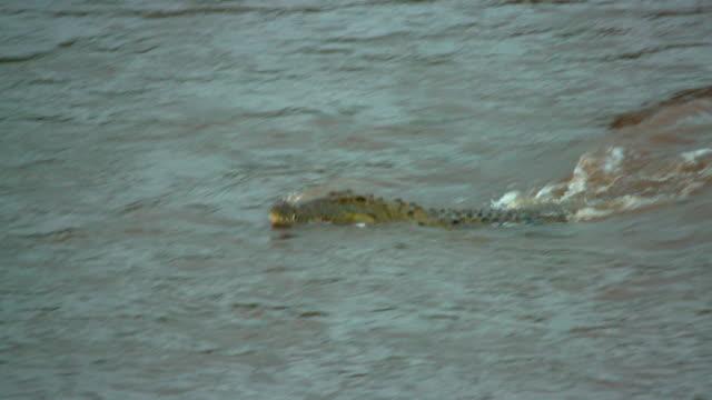 maasai mara 7 sept 16 pm - crocodile stock videos and b-roll footage