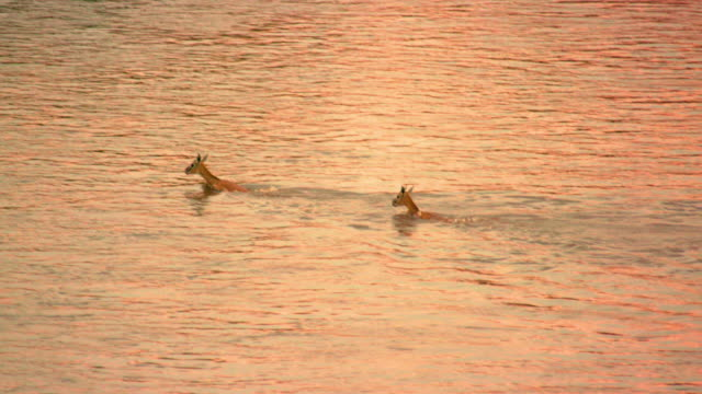 maasai mara 7 sept 16 pm - two animals video stock e b–roll