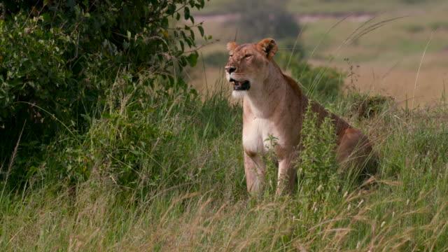 vidéos et rushes de maasai mara - lion