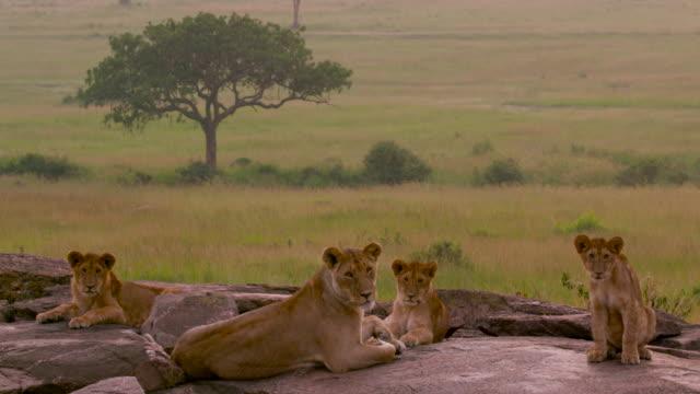 maasai mara - lion cub stock videos & royalty-free footage