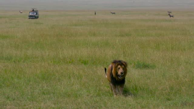 maasai mara - male animal stock videos & royalty-free footage