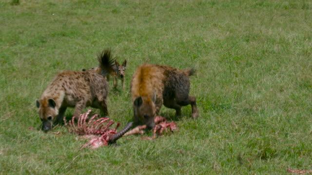 maasai mara - 死んでいる動物点の映像素材/bロール