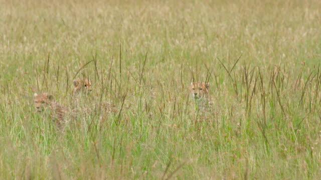 vídeos de stock e filmes b-roll de maasai mara - camuflagem padrão