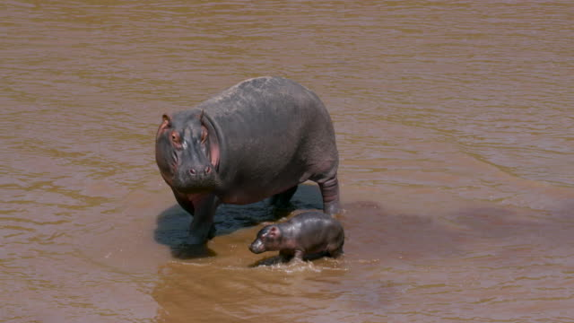 maasai mara - hippopotamus stock videos & royalty-free footage