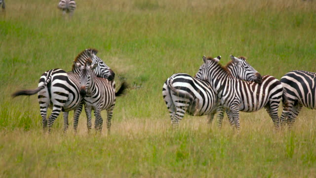 vídeos y material grabado en eventos de stock de maasai mara - grupo mediano de animales