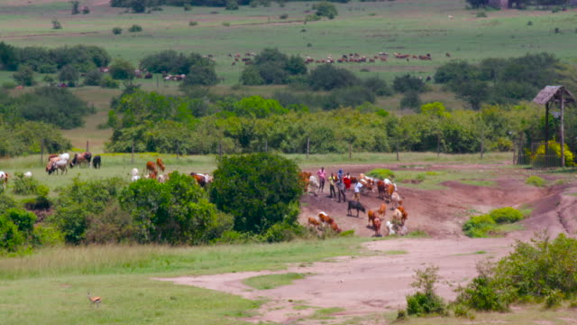 maasai mara - bovino video stock e b–roll
