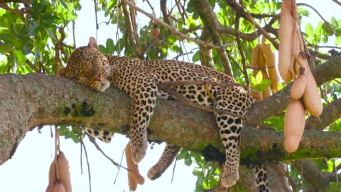 maasai mara - leopard stock videos & royalty-free footage