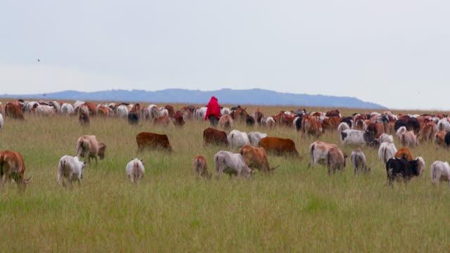 vidéos et rushes de maasai mara - cattle