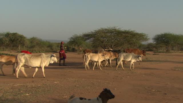 Maasai or Samburu Masai and Samuburu warriors with cattle, WITH AUDIO