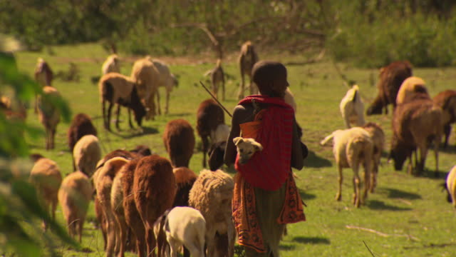 vídeos de stock e filmes b-roll de maasai or samburu masai girl herding goats. young dog in sling on girls back - pastorear