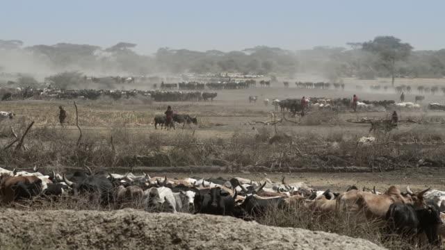 maasai tribesmen gather with cattle at lake masek - herder stock videos & royalty-free footage