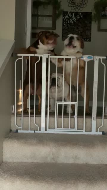 mabel, murphy and millie cannot help but to lose their minds when their owner comes home from work. jumping up and down, barking, whining and begging... - homecoming stock videos & royalty-free footage