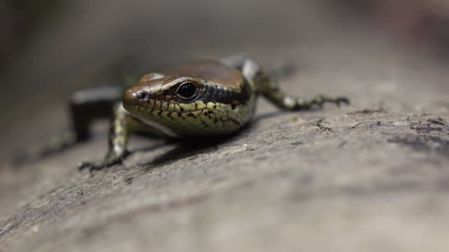 mabuya skink - reptile stock videos & royalty-free footage