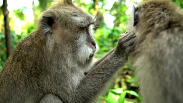 stockvideo's en b-roll-footage met macaca monkeys grooming in ubud monkey forest indonesia - dierenverzorging